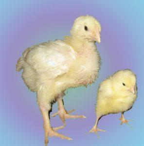 цыплята бройлера и несушки