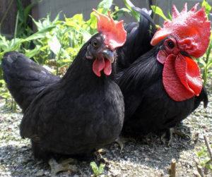порода куриц шабо