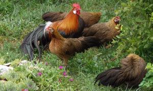 содержание домашних кур
