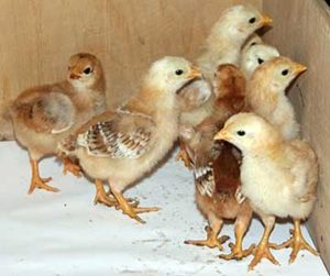 цыплята породы фокси чик