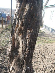 вред от жуков на яблоне