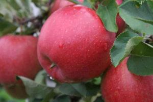 сорта яблонь хани крисп