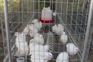 металлическая клетка для цыплят