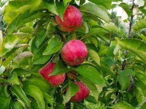 яблоня сорта арбат