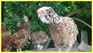 курицы породы орловской