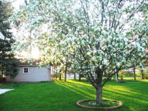 белая яблоня в ландшафтном дизайне