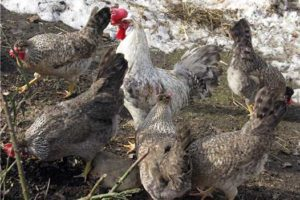 легбар кремовые курицы