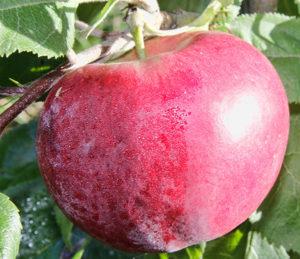 сорт останкино яблко