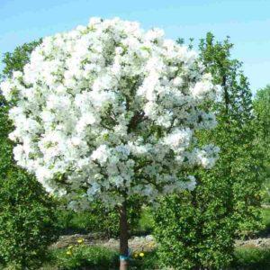 яблоня декоративная белая