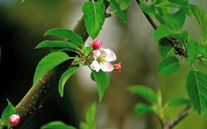 листья яблони