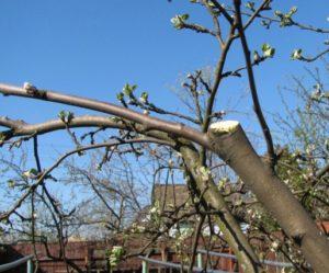 регулярная обрезка яблонь