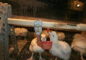 пропой антибиотиками цыплят