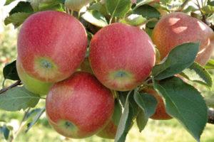 джонаголд домашняя яблоня
