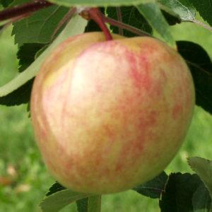 сорта яблонь сахарный мирон