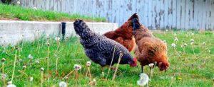 трава для кур