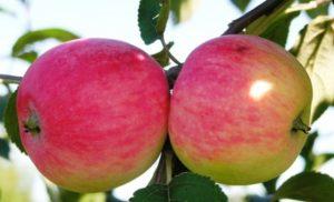 яблочки мельба