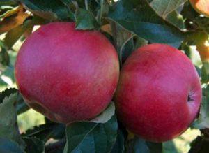 сорта яблонь джонатан