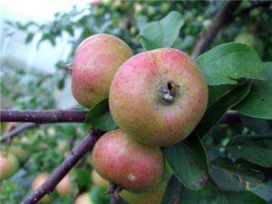 сорт яблок коробовка