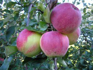 сорта яблонь уэлси