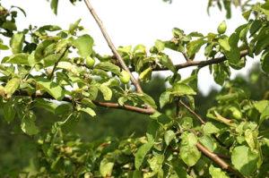 причины не плодоношения яблони