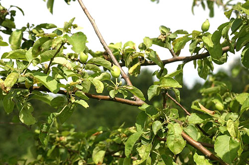 Яблоня плодоносит через год почему