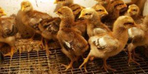 цыплята породы билефельдер
