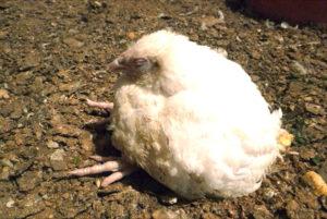 недоброкачественный отбор новых цыплят
