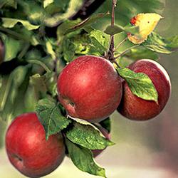 яблоня ред фри