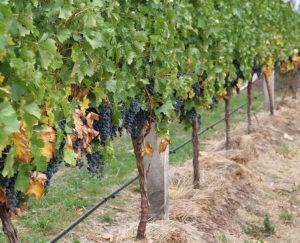выращивание винограда для подмосковья
