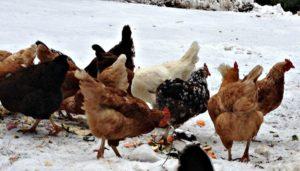 зимнее кормление кур