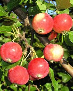 ранетка яблоня