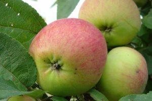сорта яблонь орлинка