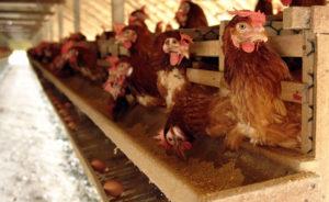 условия для яйценоскости кур