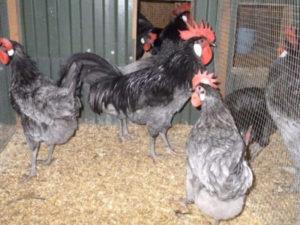 порода кур андалузская голубая в птичнике