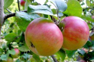 яблони для подмосковья