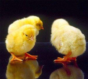 авитаминоз у цыплят