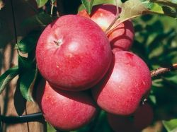 яблонь бенишогун