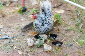бентамка с цыплятами