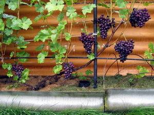 бесштамбовое формирование куста винограда