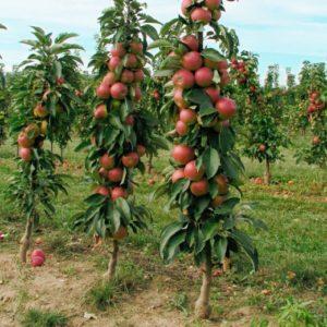 колоновидные яблоньки