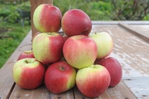 выбор сорта яблони