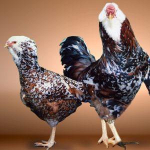орловская порода кур