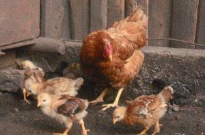 фокси чик с цыплятами