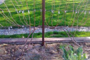 штамбовое формирование куста винограда