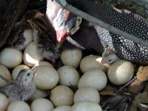 несушка с птенцами