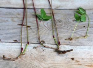 как размножать девичий виноград черенками