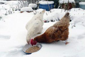 корм для кур зимой