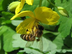 лечение пчел чистотелом