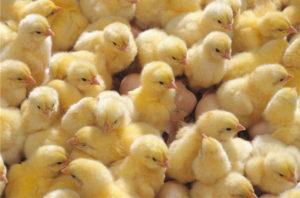 питание бройлерных цыплят