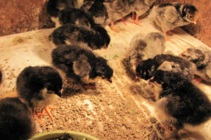 цыплята породы маран